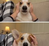 The many faces of Waffles the Corgi…