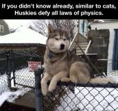 Law defying husky…