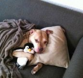 A day in the life of a vicious pitbull…