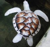 Albino sea turtle…
