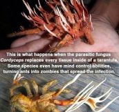 Tarantula from hell…