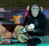 Chimpanzee delightfully feeds a tiger cub…