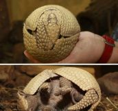Armadillo, I choose you…