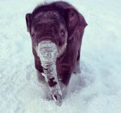 Baby elephant in the snow…