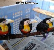 Little baby toucans…