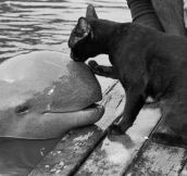Cat kissing a baby beluga whale…