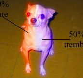 Chihuahuas's anatomy…
