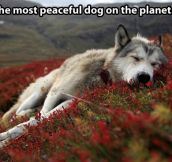 Peaceful dog…