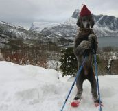 Norwegian dog…