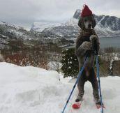 Norwegian dog…