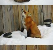 Sleepy Fox…