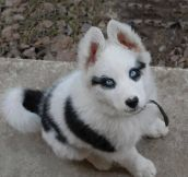 Such a beautiful Husky puppy…