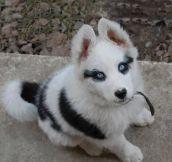 Such a beautiful Husky puppy…