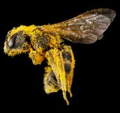 Close up of a pollen covered bee