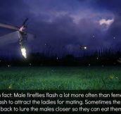 FUN FIREFLY FACT.