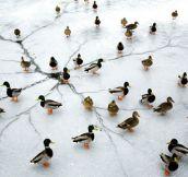 Quacks n' cracks