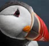 The amazing face of the Atlantic Puffin…