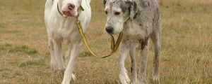 Blind Great Dane and her guide dog…