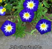 The bluest Morning Glories…