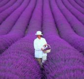 Lavender fields in France…