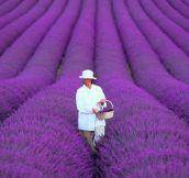 Lavender fields in France…