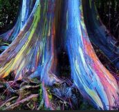 Rainbow Eucalyptus trees on Maui, Hawaii…