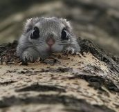 Japanese dwarf flying squirrel…