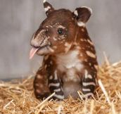 An unusual cuteness, a baby tapir…