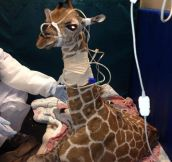 Baby giraffe in intensive care after birth…