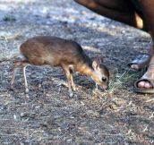 Royal antelope being all cute…