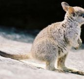 Baby Wallaby…