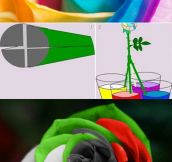 How to make a multicolored rose…