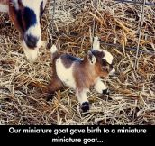 Cutest tiniest goat in the world…