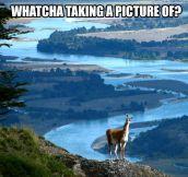 Curious llama…