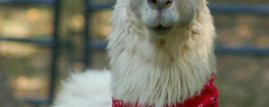 Here's a llama wearing a hat…