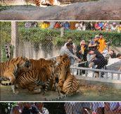 Tiger-o-war…