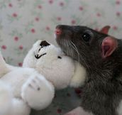 Pet Rats Posing With Teddy Bears is Way Cuter Than You Might Think…
