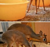 Dik-Dik, the smallest antelope…