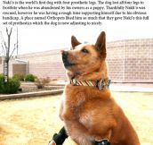 Nakli'o, the world's first dog with four prosthetic legs…
