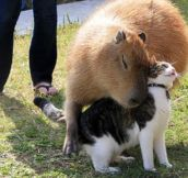 I'll love you forever, giant capybara…
