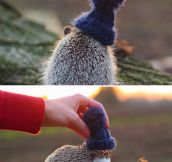 Pendleton the Hedgehog…