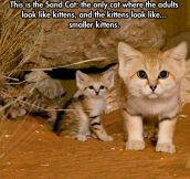 The Sand Cat…