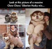 The Husky Chow…