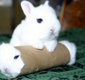 Real bunny roll…