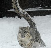 Snow leopard running…