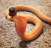 Cobra in a top hat…
