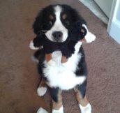 Dr. Evil's dog and mini dog…