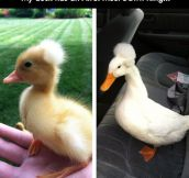 This is a crested duck…