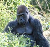 Ridiculously attractive gorilla…