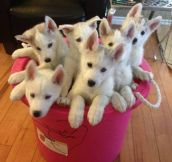 Here, have a bucket of huskies…